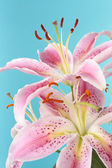 Pink lily flower over blue background — Stock Photo
