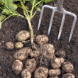 Freshly dug potatoes crop on ground — Stock Photo