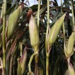 Ripe corn cob growing in crop field — Stock Photo