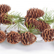 Pincones on pon tree branch over white background — Stock Photo