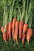 Freshly picked up carrots on grass — Stock Photo