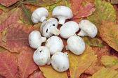 Button mushrooms on autumn leaves — Stock Photo