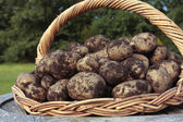 Freshly dug potatoes crop on basket — Stock Photo