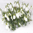 Snowdrop flowers with snow in winter — Stock Photo