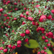 Ripe berries on shrub plant in autumn — Stock Photo