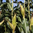 Ripe corn cob growing in field closeup — Stock Photo