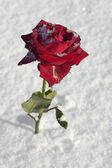Red rose closeup on snow ground — Stock Photo