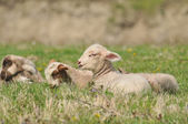 Two lamb on the grass — Stock Photo