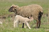 Sheep and lamb — Stock Photo
