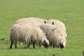 Sheep on grass — Stock Photo