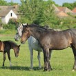 Horses on pasture - Stock Photo