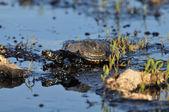 Turtles in the oil slick — Stock Photo
