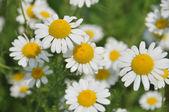 Camomila flor bonita — Fotografia Stock