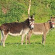 Two donkey in the meadow — Stock Photo