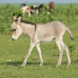 Постер, плакат: Grey little donkey on pasture