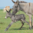 First step of a small donkey — Stock Photo