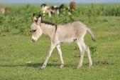 Grey little donkey on pasture — Stock Photo