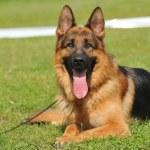 ������, ������: German Shepherd