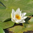 White water lily flower — Stock Photo