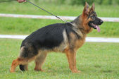 Beautiful German shepherd dog in the dog show — Stock Photo