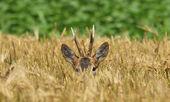 Roebuck in the Rye — Stockfoto