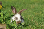 Little bunny grazing — Stock Photo