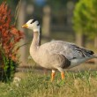 Wild Geese - Stock Photo