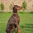 Portrait of beautiful breed black doberman - Zdjęcie stockowe