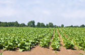 Tabákové pole — Stock fotografie