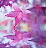 American Sweetgum — Stock Photo