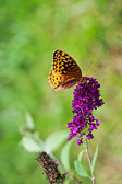 Great Spangled Fritillary — Stock Photo