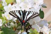 Zebra Swallowtail — Stock Photo