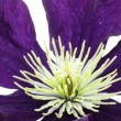 Clematis Macro — Stock Photo