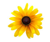 Black Eyed Susan — Stock Photo