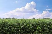 Sojabönor fältet — Stockfoto