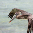 Stock Photo: Pelican flying
