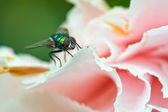 Long-legged fly — Stock Photo