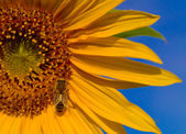 Bee Wings Glisten on a Sunflower — Stock Photo