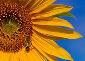 Bee Wings Glisten on a Sunflower — Stock Photo