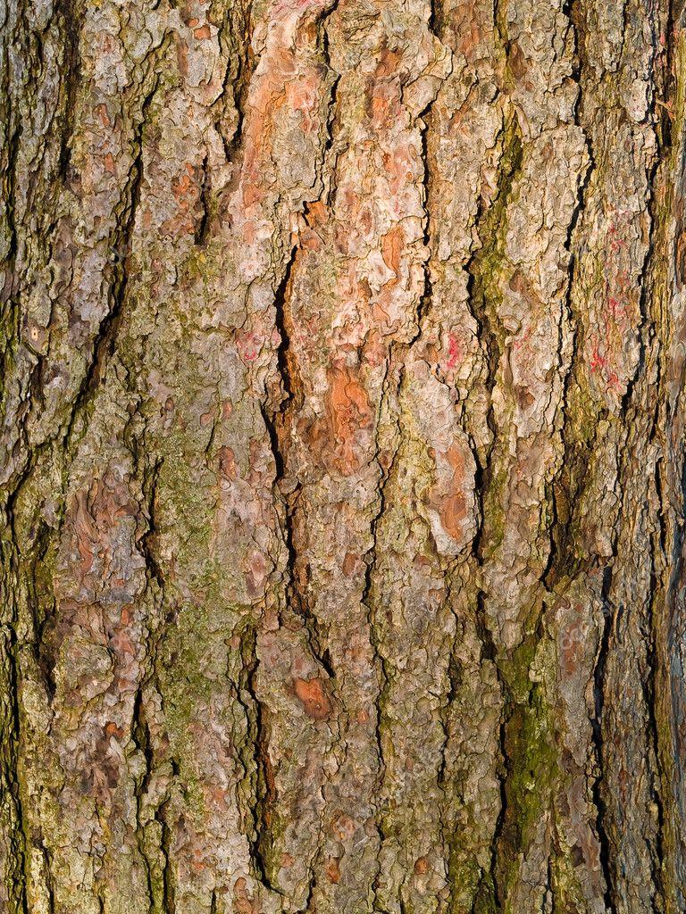 evergreen tree bark background - photo #2