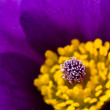 Purple and Yellow Macro of a Poppyish Flower — Stock Photo