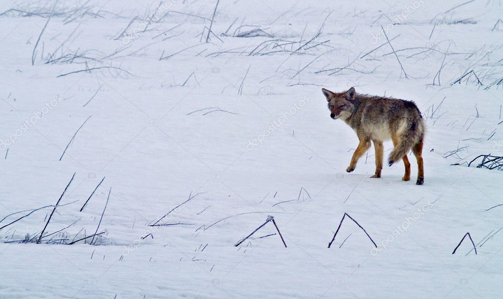 Coyote of the West Plains in Winter  Stock Photo #2866181