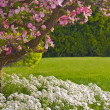 Pink blooms adorn a Dogwood tree - Stock Photo