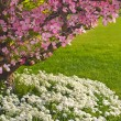 Pink blooms adorn Dogwood tree — Stock Photo #2966716