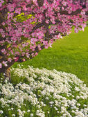 Pink blooms adorn a Dogwood tree — Stock Photo