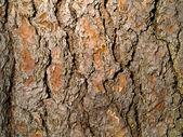 Evergreen Tree Bark Background — Stock Photo