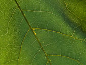 Leaf Vein Macro — Stock Photo