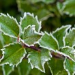 Frost Covered Leaves — Stock Photo