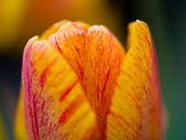 Tulipanes franjas amarillos y anaranjados con una poca — Foto de Stock