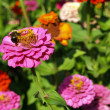 A Garden of Multi-Colored Marigolds in Full Bloom and a Bumblebee - Stock Photo